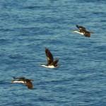 Todo lo que debes saber sobre las aves marinas de Calbuco