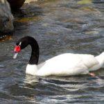 10 datos que debes conocer sobre los Cisnes de Cuello Negro