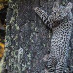 Conoce al Gato de Geoffroy: Un descubrimiento inusual en la Patagonia Chilena