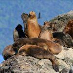 La importancia de los lobos marinos de la Patagonia