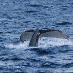 ¿Cómo pueden ayudarnos las ballenas a proteger el planeta?