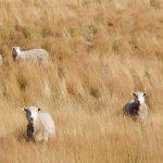 La convivencia entre el puma y el ganado